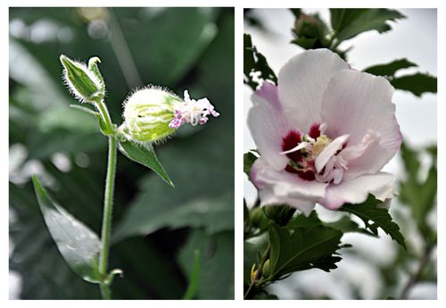 Bud-flower