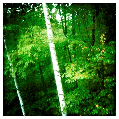 Green-and-birches