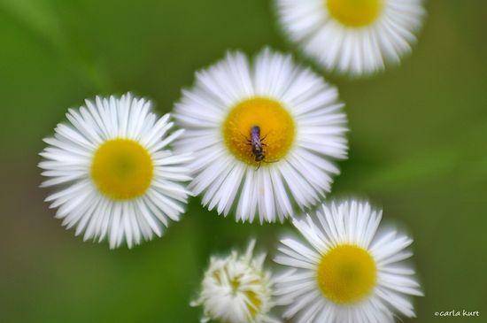 Fleabane-bug
